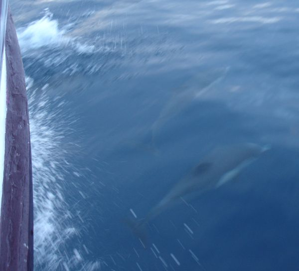 Bow-riding Dolphins in Their Element