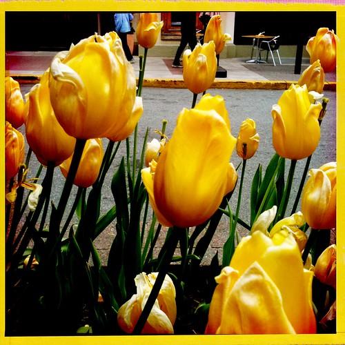 Tulips In Montclair