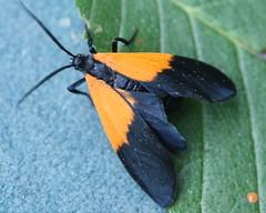 8087 - Lycomorpha pholus - Black-and-yellow Lichen Moth