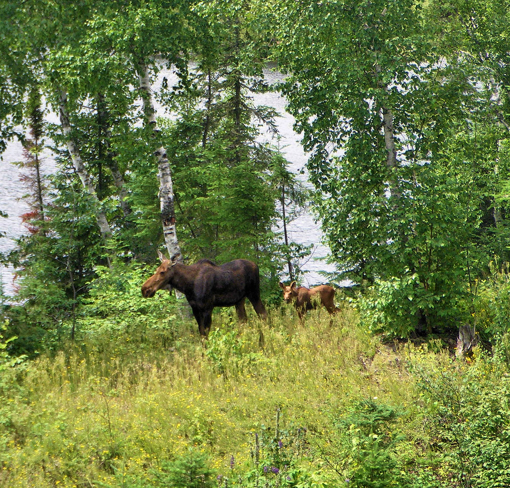 The moose and her calf, in the garden behind the lodge