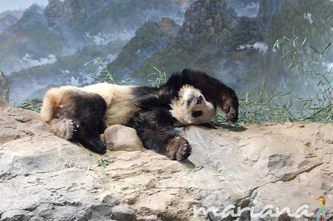 Panda at the National Zoo