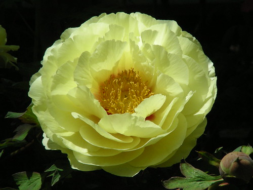 yellow paeony