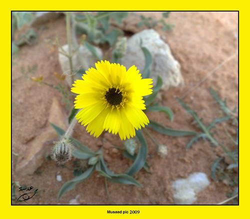 الزهرة الذهبية by musaadpic.