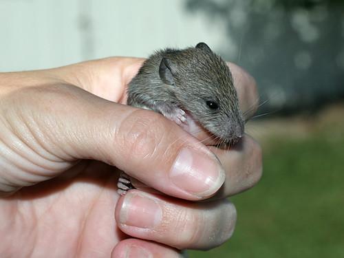 Baby-Rat5