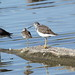 Greater Yellowlegs and a Mallard