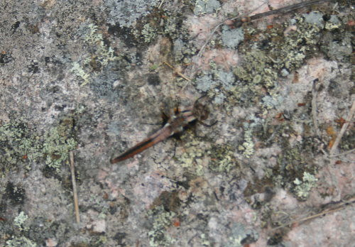 Chalk-fronted Corporal Juv F