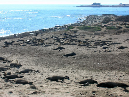Hundreds of seals