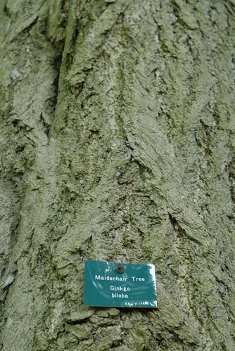 Gikgko biloba - the Maidenhair Tree