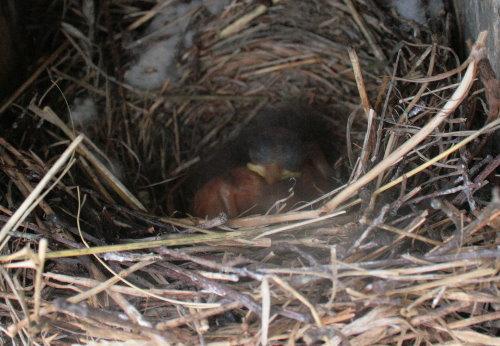 Eastern Bluebird nestlings