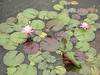 Pink waterlily, Arbutus Pond