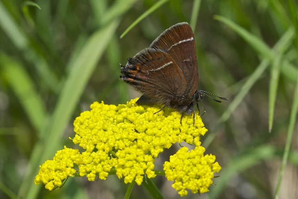 High ridge butterfly