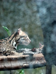Ocelot mom and baby