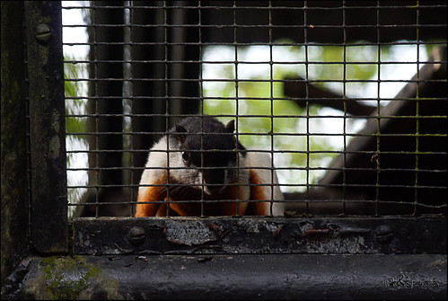 Squirrel (Tupai)