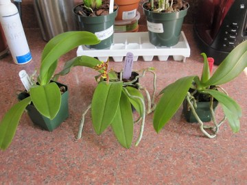 New orchids from Hausermann's