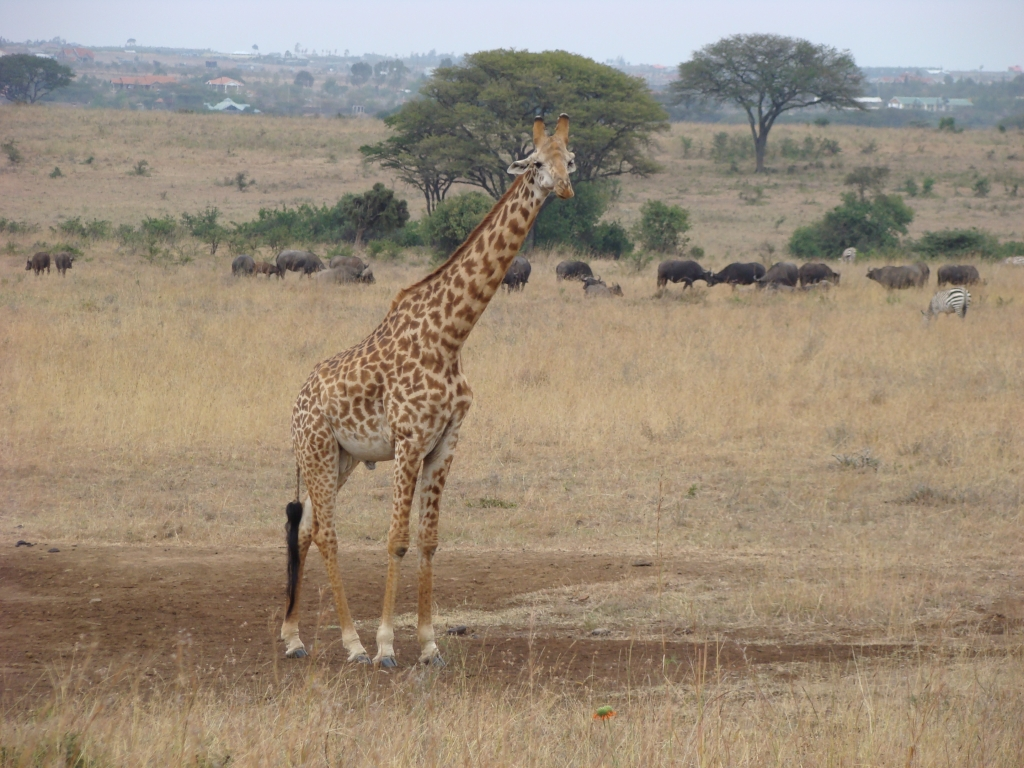 Antelopes of Nairobi National Park