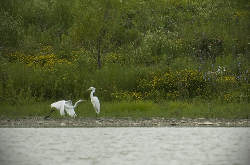Great Egrets in Rouge Valley (Markham, Ontario).