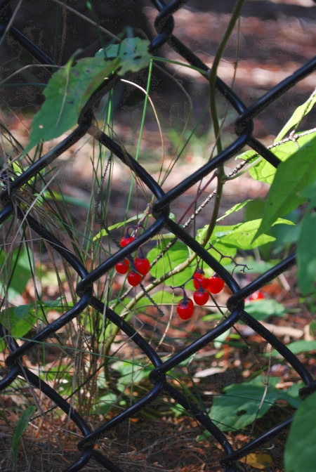 Berries and Fence