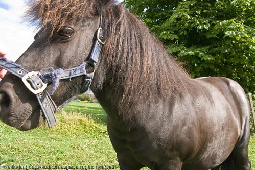 Angus the pony _G201253