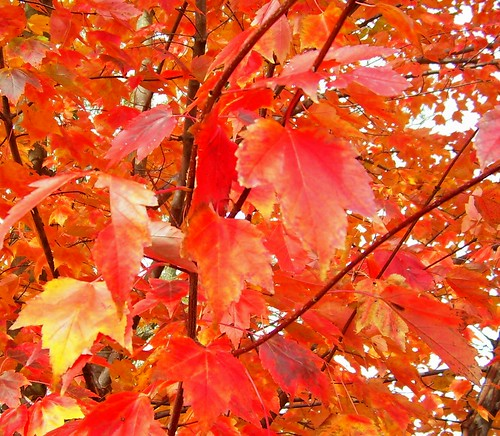 Red-Orange Leaves - Lake-to-Lake