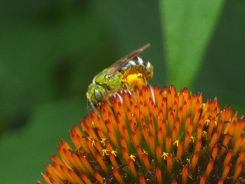 Green bee on purple coneflower