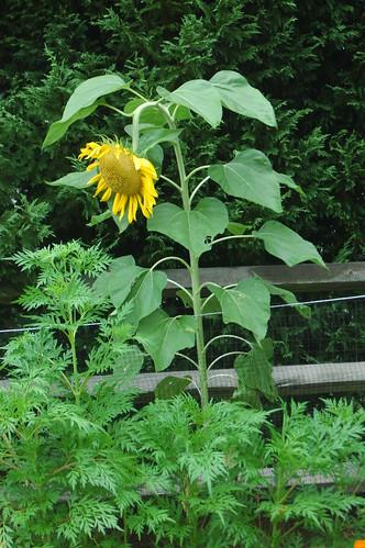 Sunflower Sam