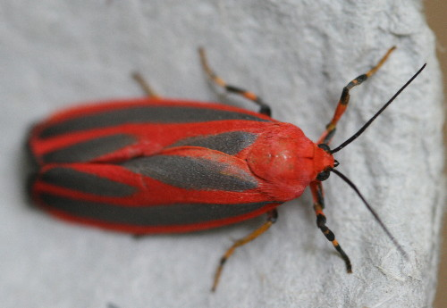8089 - Hypoprepia miniata - Scarlet-winged Lichen Moth