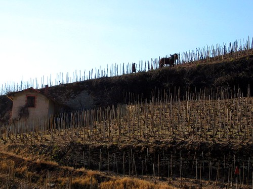 A horse working on a vineyard in Tain lHermitage.