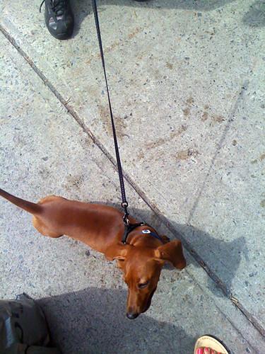 Doggie Puppy Daschund_0570