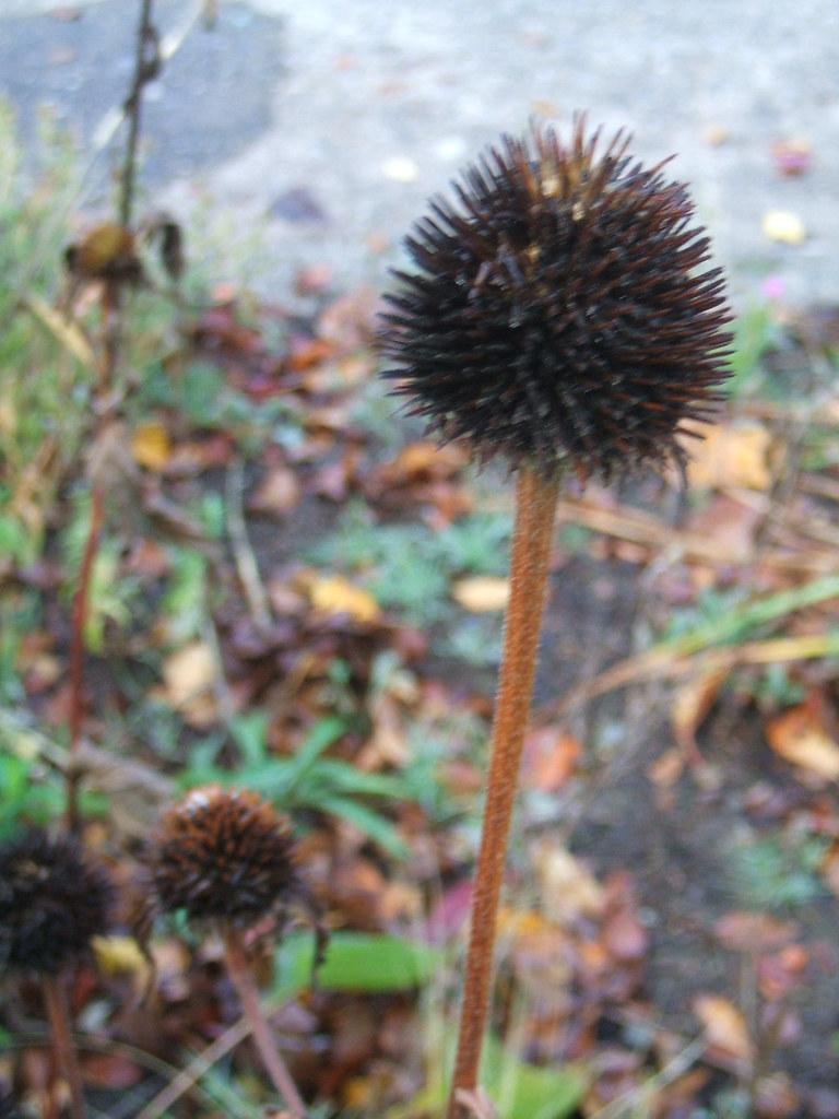 Echinacea spiky seed head
