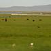 Cattle Near Great Salt Lake