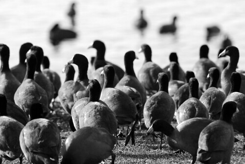 Coot Army
