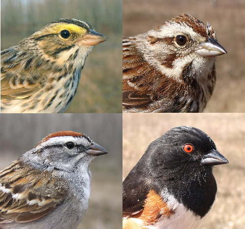 field sparrows: Savannah, Song, Chipping, Eastern Towhee