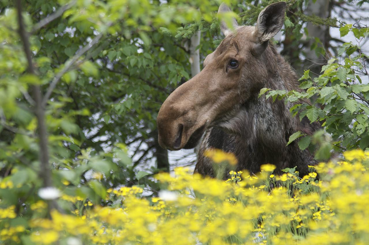 Moose on the loose at Bearskin Lodge. Photo by John Finnegan.
