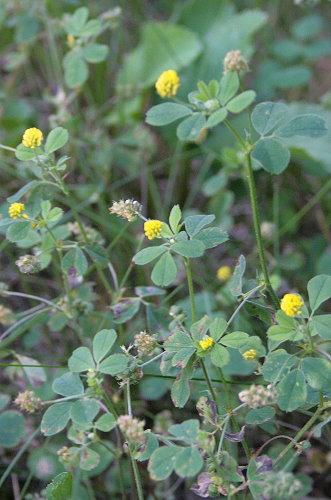 Low Hop Clover, Trifolium campestre