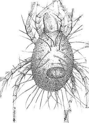 Acarus crossii