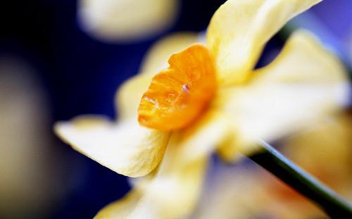 Daffodil. (Kodak Ektar 100. Nikon F100. Epson V500.)