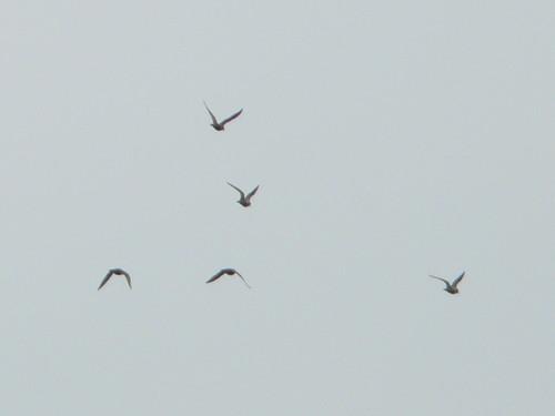 Golden Plovers