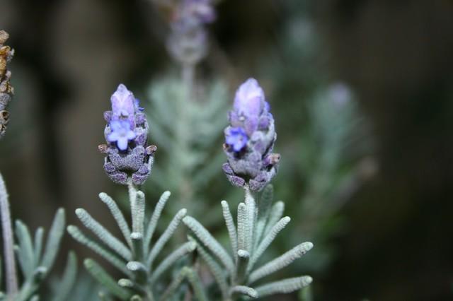 Woolly Lavender