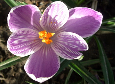 i love the feathered, stripey inner petals of this crocus.