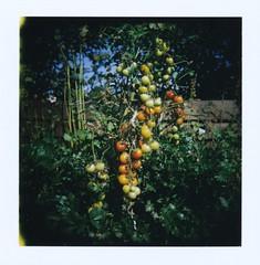 Holgaroid Tomatoes