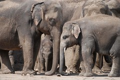 Asiatische Elefanten im Tierpark Friedrichsfelde in Berlin