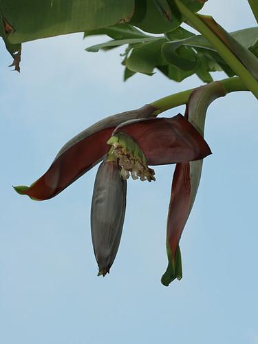 New-Bananas