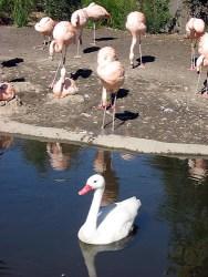 Swan Flamingos