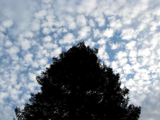 Redwood silhouette