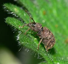 Weevil (Otiorhynchus scaber)