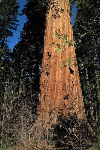 Giant Sequoia by you.