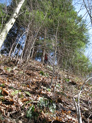 Hepatica Hillside - Can you tell how steep it is from this photo?