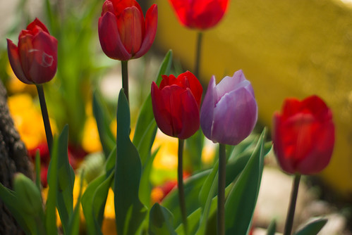 red tulips and purple one, istanbul tulip festival, istanbul, pentax k10d