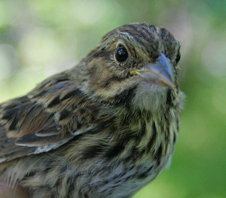 Song Sparrow fledgling