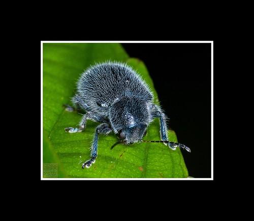 Blue Hair Beetle by Dad Bear